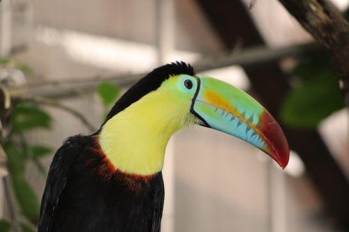 toucan keel bird
