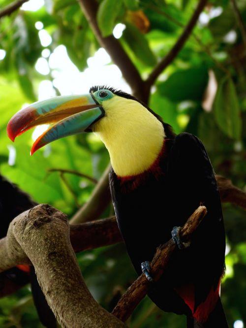 toucan bird tropical bird