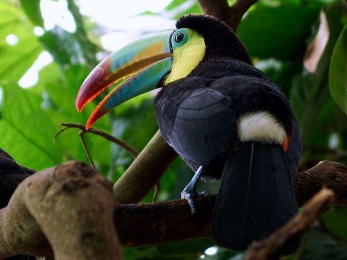 Toucan,paukštis,atogrąžų paukštis,sąskaitą,tropikai,spalvinga,plumėjimas,gyvūnas,plunksna,zoologijos sodas,naminiai paukščiai,atogrąžų,spalva,džiunglės,gamta,juokinga,žaismingas,Sveiki,atogrąžų miškai,medis