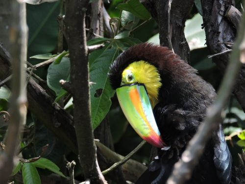 toucan peak exotic bird