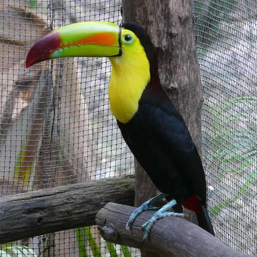 toucan perched caged