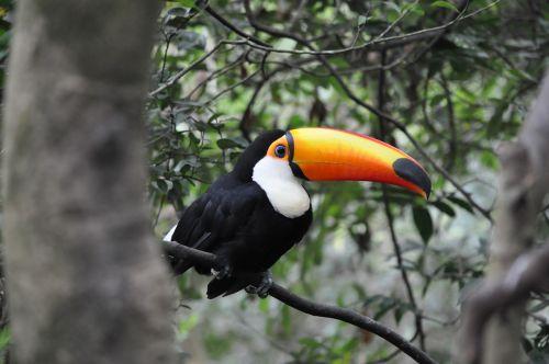 toucan pet tropical animals