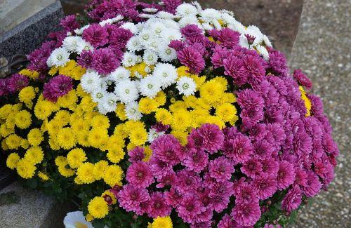 toussaint mums autumn flowers