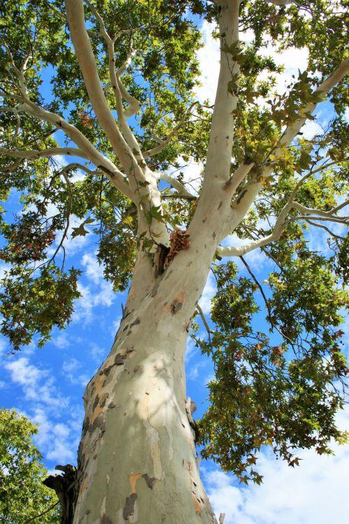 Towering Maple Tree