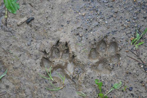 tracks mud dirt