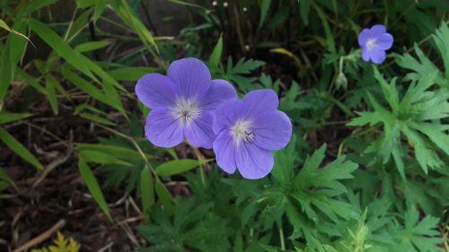 trädgårdsnäva garden flower