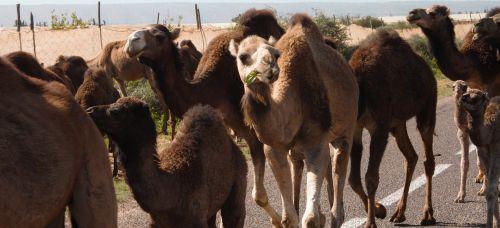 traffic jam camels morocco