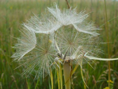 tragopogon pratensis plant plants