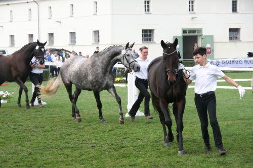 trakehner horse federal mares show
