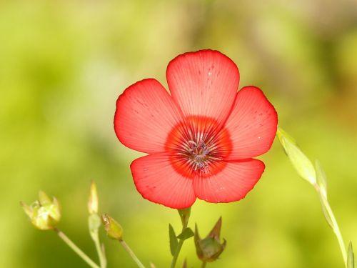 translucent red lein blossom