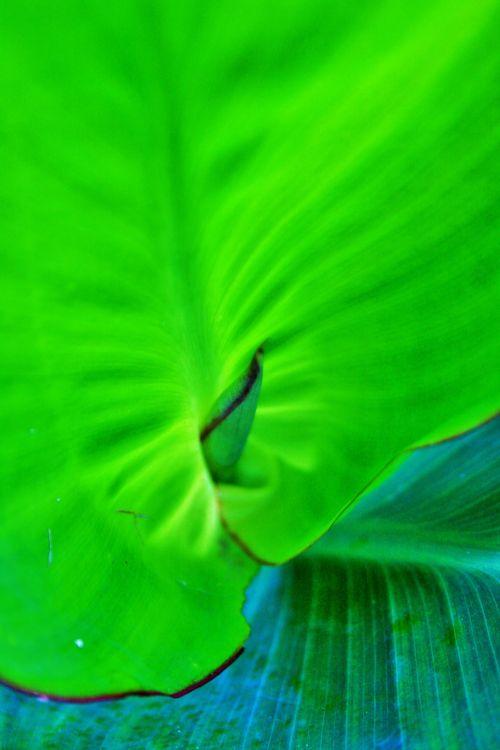 Translucent Canna Leaf