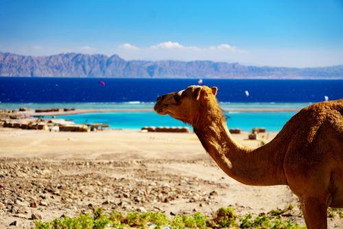 travel camel sand