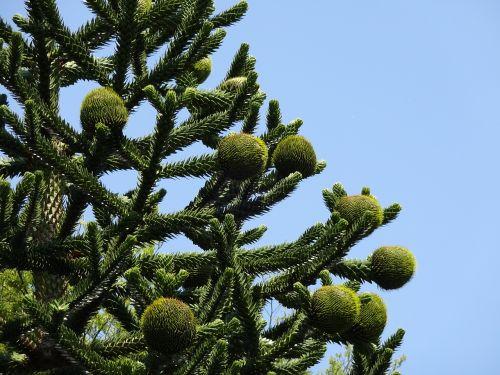 monkey puzzle tree chilean pine araucaria araucana