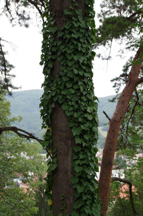 tree overgrown ivy