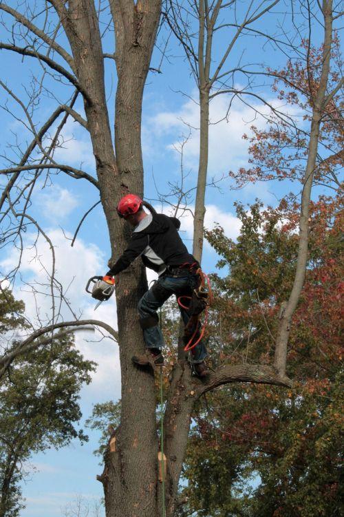 tree emerald ash borer limbing