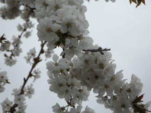 medis,žiedas,žydėti,pavasaris,žiedas,žydėti,vaismedžių žydėjimas,vyšnių žiedų,balta,vyšnių žiedas