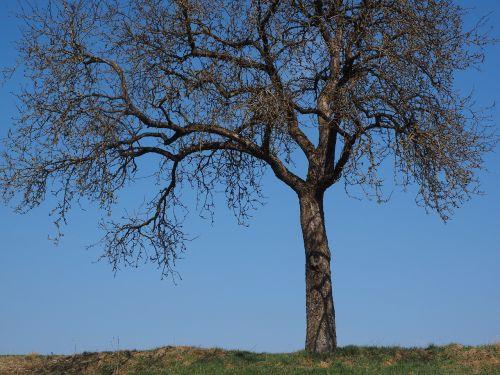 tree apple tree individually