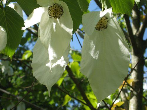 tree handkerchief tree leaf
