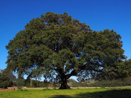 tree camphor tree cinnamomum camphora