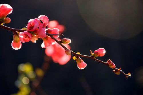 tree flower japanese flowering crabapple