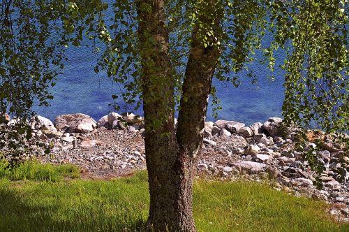 tree deciduous tree nature