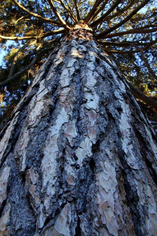 tree trunk pine tree