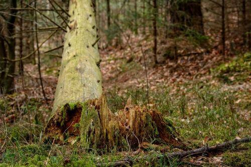 tree tribe tree stump