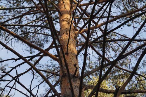 tree branch pine
