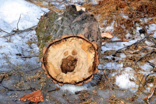 tree person birch