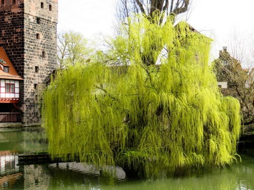 tree pasture weeping willow
