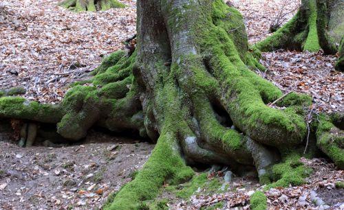 medis,senas medis,šaknis,gamta,miškas,žurnalas,samanos,buko medis,oras,užteršimas