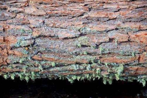 tree pine bark