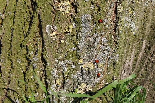 ladybugs tree spring