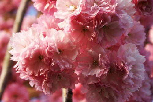 tree flowering tree spring