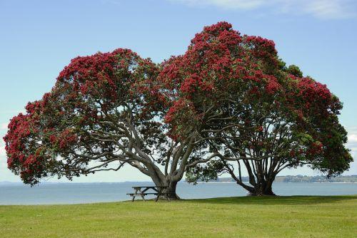 medis,žiedas,žydėti,raudonos gėlės,raudona,karūna,metrosideros excelsa,metrosideros tomentosa,Mirto augalas,myrtaceae,Naujoji Zelandija Kalėdų eglutė,geležies medis,pōhutukawa,Cornwallis paplūdimys,vakarų aklandas,Naujoji Zelandija,immergrüner medis,gėlės,pohutukawa medis