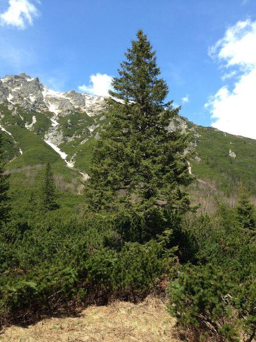 tree spruce nature