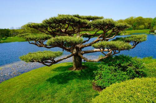tree japanese garden landscape