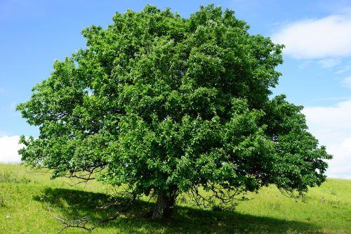 tree single standing rand ecker maar