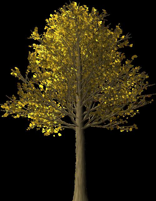 tree maple maple tree