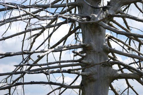 tree arid tribe