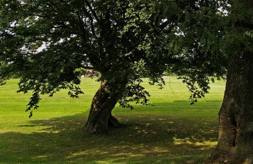 tree linden shadow