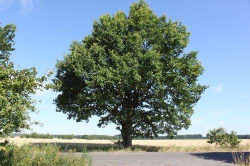 tree summer blue