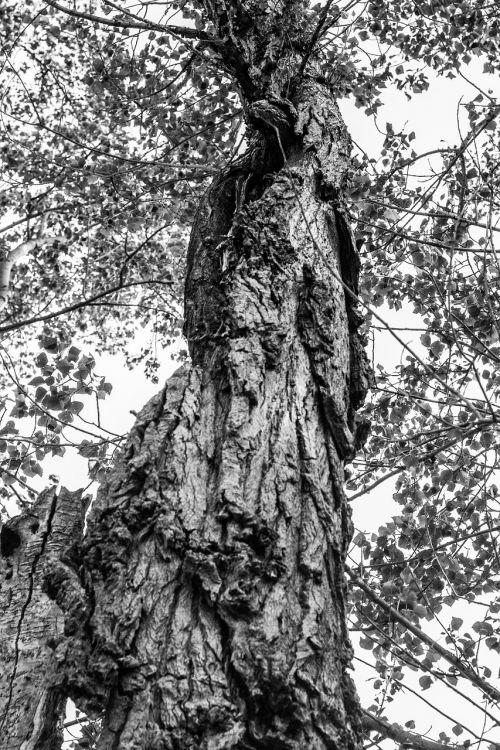 tree black white