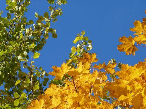 tree birch maple