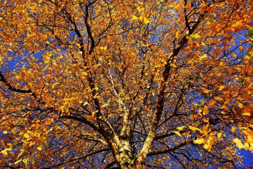tree birch late autumn
