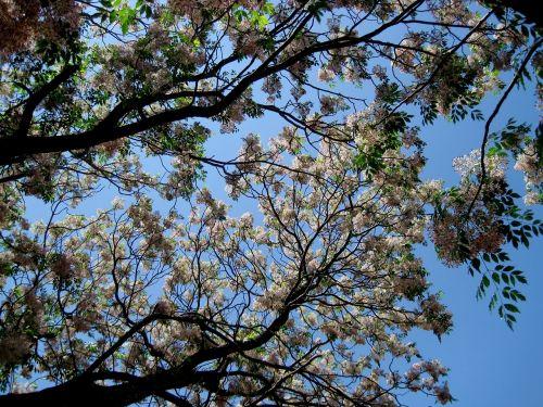 tree flowering blooming