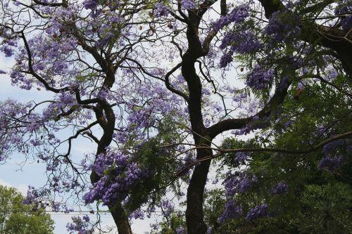 tree jakaranda curvy