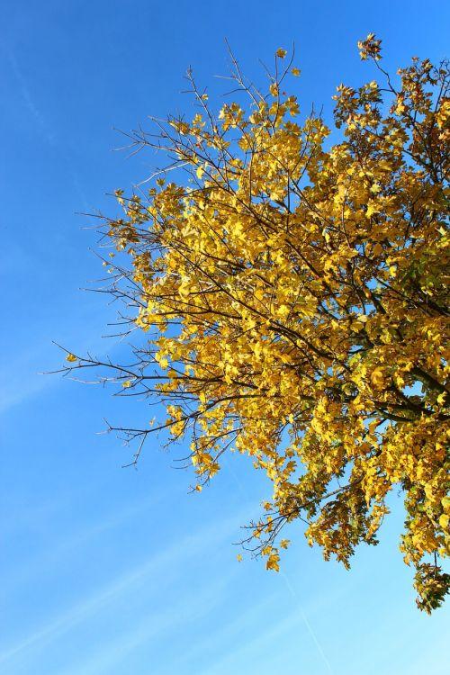 medis,ruduo,lapai,geltona,dangus,mėlynas,kritimo spalva,kritimo lapija,rudens medis,dažymas,spalvotas žaidimas,lapuočių medis