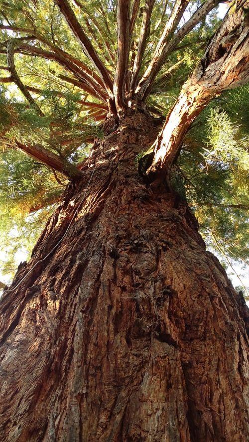 tree log sequoia