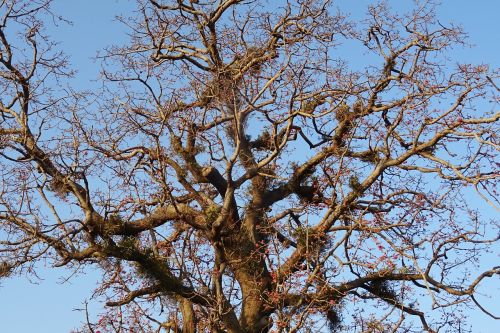 tree shimul bombax ceiba